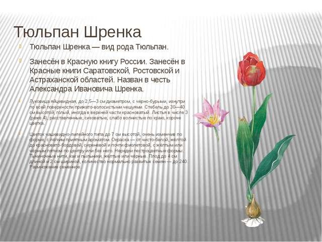 Тюльпан Шренка Тюльпан Шренка — вид рода Тюльпан. Занесён в Красную книгу Рос...