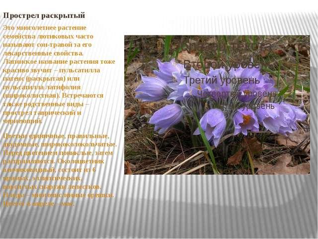 Прострел раскрытый Это многолетнее растение семейства лютиковых часто называю...