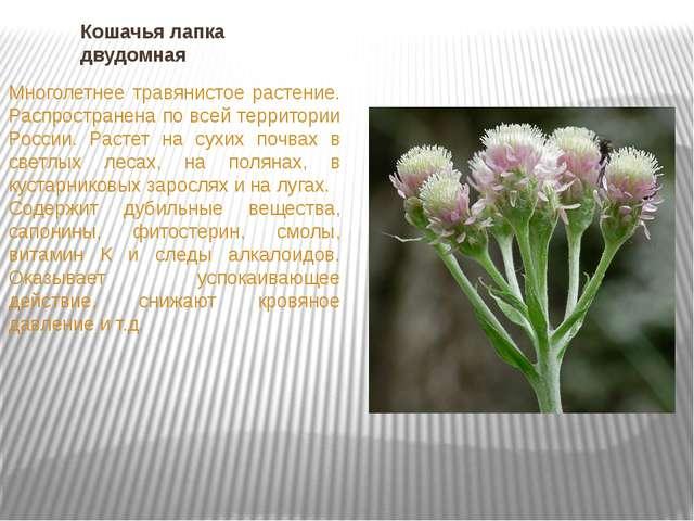 Кошачья лапка двудомная Многолетнее травянистое растение. Распространена по в...