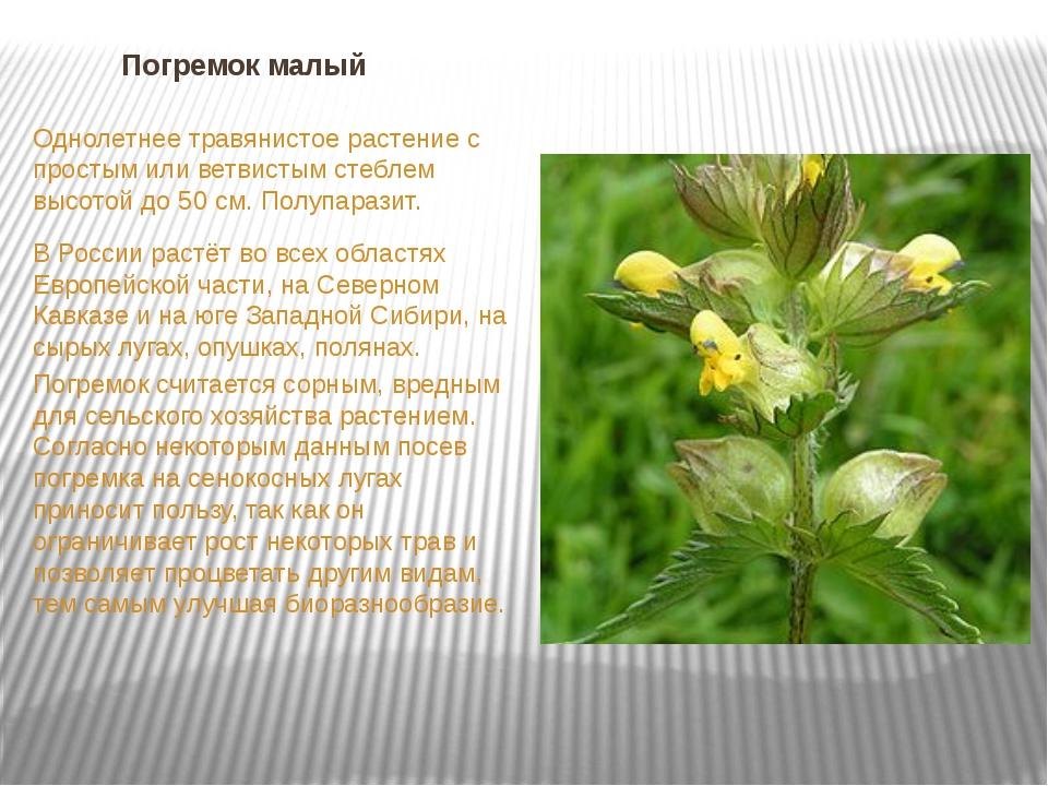 Погремок малый Однолетнее травянистое растение с простым или ветвистым стебле...