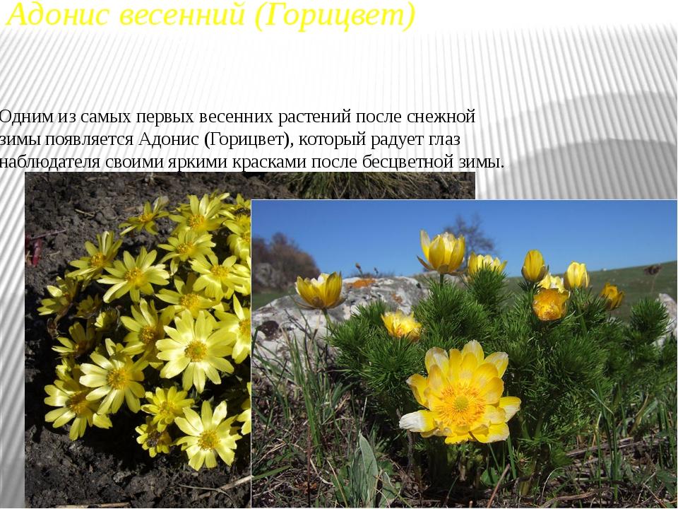 Адонис весенний (Горицвет) Одним из самых первых весенних растений после снеж...