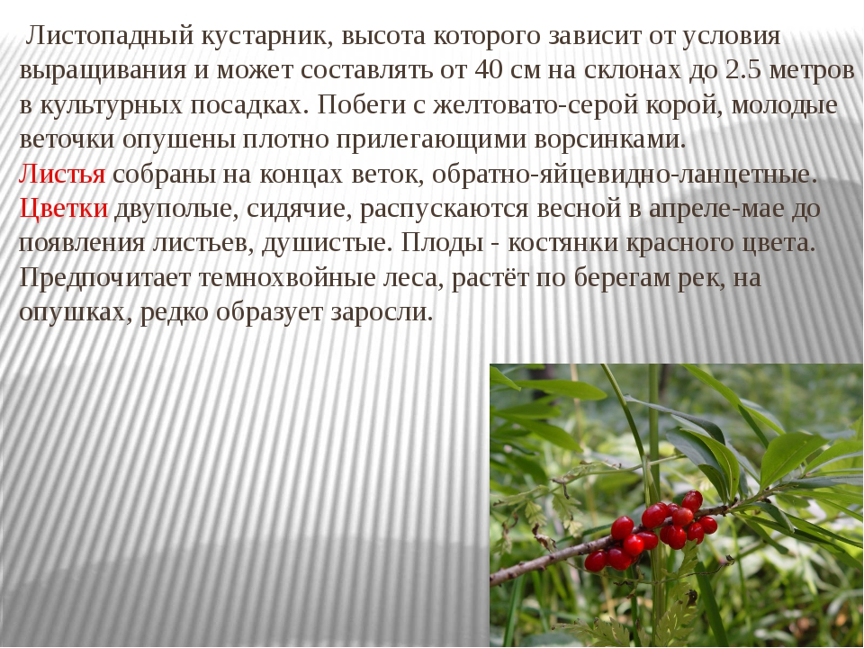 Листопадный кустарник, высота которого зависит от условия выращивания и може...