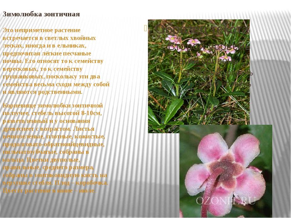 Зимолюбка зонтичная Это неприметное растение встречается в светлых хвойных ле...