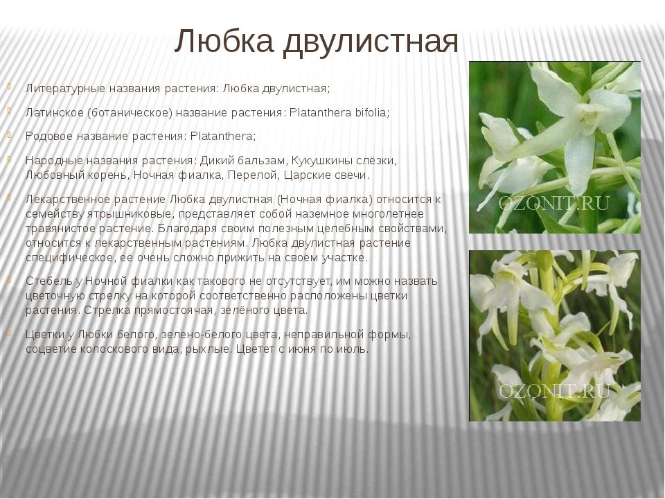 Любка двулистная Литературные названия растения: Любка двулистная; Латинское...