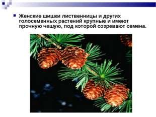 Женские шишки лиственницы и других голосеменных растений крупные и имеют проч