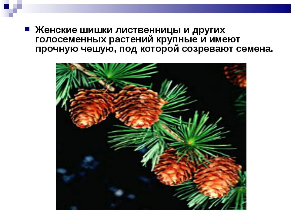 Женские шишки лиственницы и других голосеменных растений крупные и имеют проч...