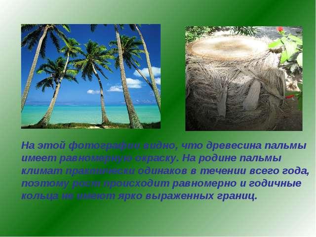 На этой фотографии видно, что древесина пальмы имеет равномерную окраску. На...
