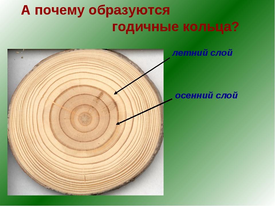 А почему образуются годичные кольца? летний слой осенний слой