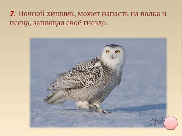 7. Ночной хищник, может напасть на волка и песца, защищая своё гнездо.