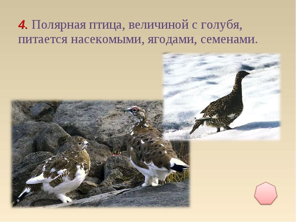 4. Полярная птица, величиной с голубя, питается насекомыми, ягодами, семенами.