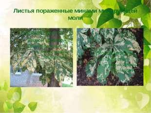 Листья пораженные минами минирующей моли