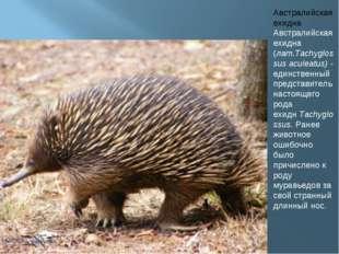 Австралийская ехидна Австралийская ехидна (лат.Tachyglossus aculeatus)- един