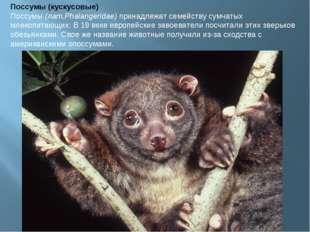 Поссумы (кускусовые) Поссумы(лат.Phalangeridae)принадлежат семейству сумчат