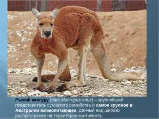 Рыжий кенгуру(лат.Macropus rufus) – крупнейший представитель сумчатого семей