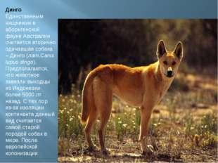 Динго Единственным хищником в аборигенской фауне Австралии считается вторично