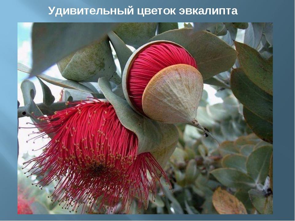 Удивительный цветок эвкалипта