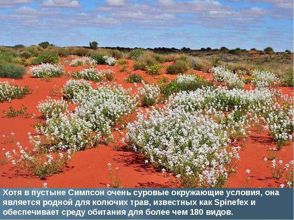 Хотя в пустыне Симпсон очень суровые окружающие условия, она является родной...