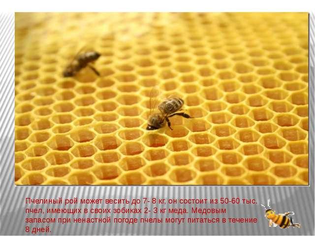 Пчелиный рой может весить до 7- 8 кг, он состоит из 50-60 тыс. пчел, имеющих...