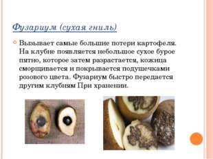 Фузариум (сухая гниль) Вызывает самые большие потери картофеля. На клубне поя