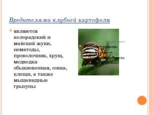 Вредителями клубнейкартофеля являются колорадский и майский жуки, нематоды,