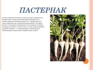 ПАСТЕРНАК род трав семейства зонтичных, овощная культура, выращивается как дв