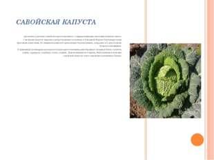 САВОЙСКАЯ КАПУСТА двулетнее растение семейства крестоцветных с гофрированными