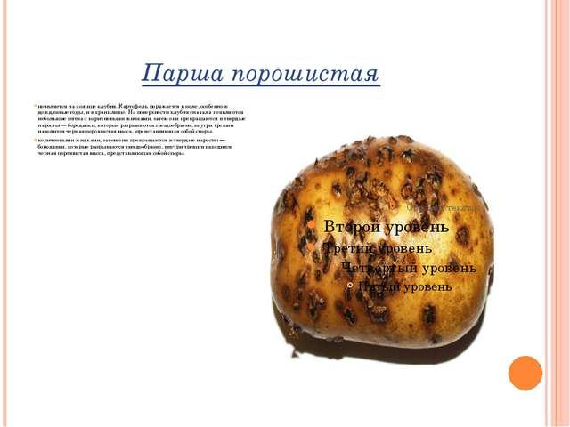 Парша порошистая появляется на кожице клубня. Картофель поражается в поле, ос...