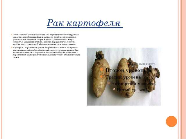 Рак картофеля Очень опасная грибковая болезнь. На клубнях появляются крупные...