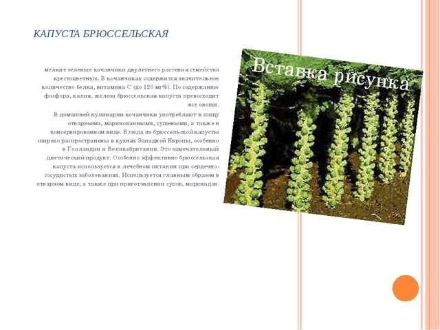 КАПУСТА БРЮССЕЛЬСКАЯ мелкие зеленые кочанчики двулетнего растения семейства к...