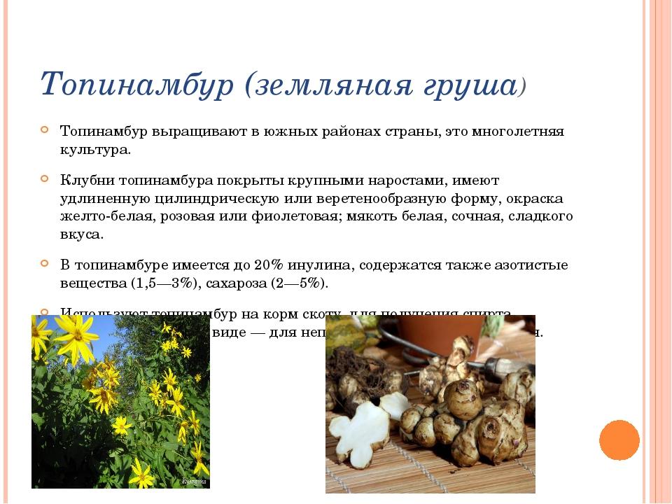 Топинамбур (земляная груша) Топинамбур выращивают в южных районах страны, это...