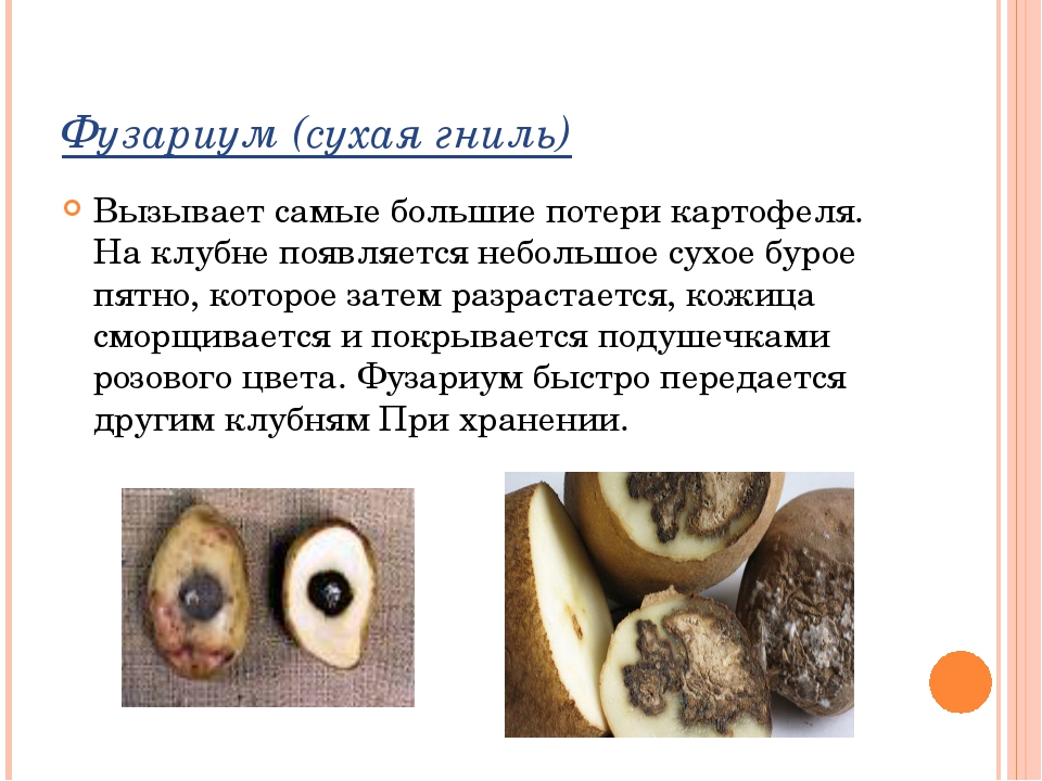 Фузариум (сухая гниль) Вызывает самые большие потери картофеля. На клубне поя...