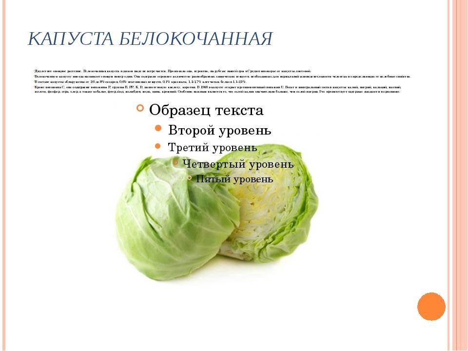 КАПУСТА БЕЛОКОЧАННАЯ Двулетнее овощное растение. Белокочанная капуста в диком...
