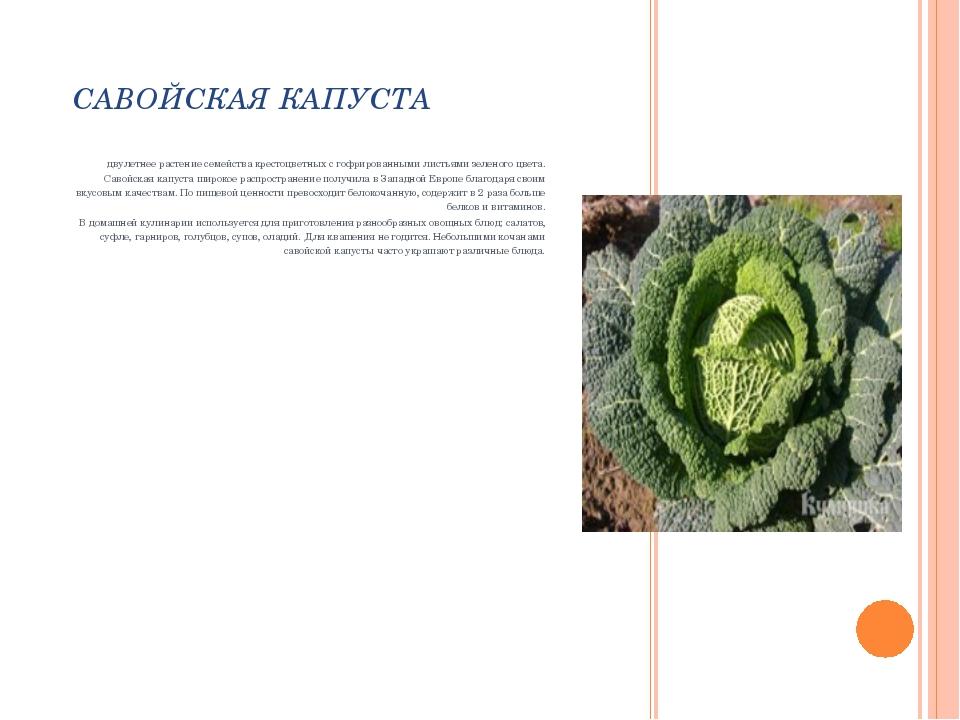 САВОЙСКАЯ КАПУСТА двулетнее растение семейства крестоцветных с гофрированными...