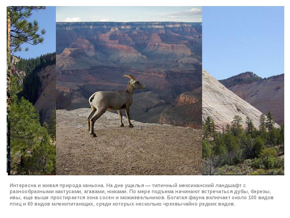 Интересна и живая природа каньона. На дне ущелья— типичный мексиканский ланд...