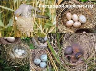 Гнездовой паразитизм