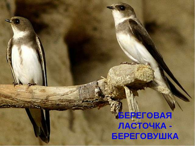 БЕРЕГОВАЯ ЛАСТОЧКА - БЕРЕГОВУШКА