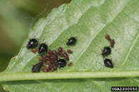 Aphids 2
