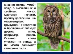 Сова – ночная хищная птица. Живёт чаще в смешанных и хвойных лесах. Охотится