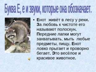 Енот живёт в лесу у реки. За любовь к чистоте его называют полоскун. Передние