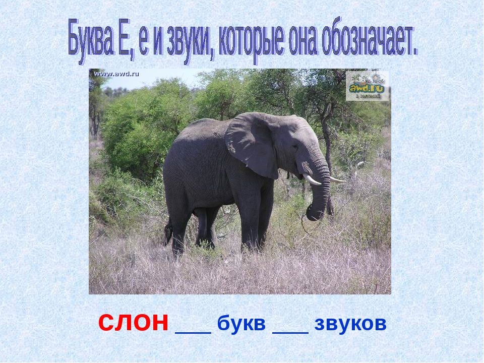 слон ___ букв ___ звуков