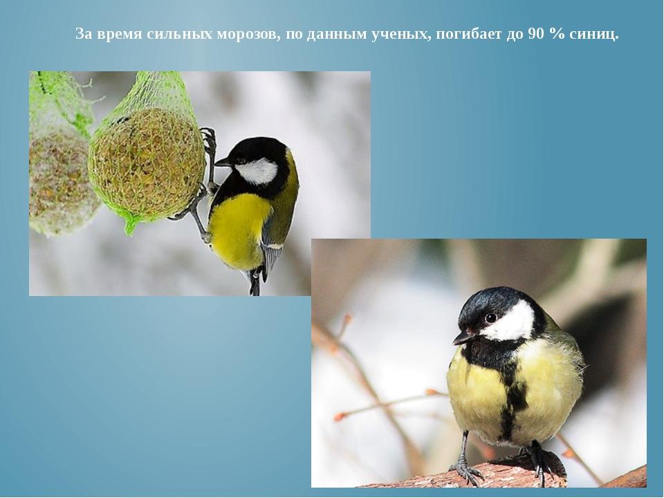 За время сильных морозов, по данным ученых, погибает до 90% синиц.