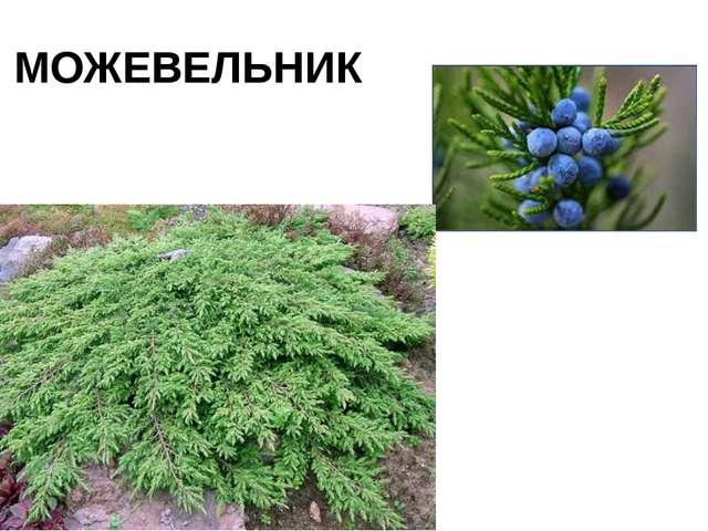 МОЖЕВЕЛЬНИК