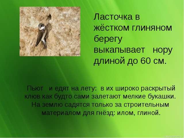 Пьют и едят на лету: в их широко раскрытый клюв как будто сами залетают мелки...