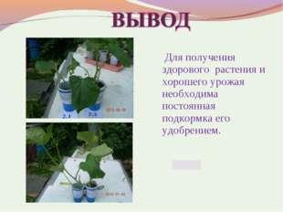 Для получения здорового растения и хорошего урожая необходима постоянная под