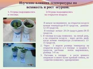 1. Огурцы выращивались 2.Огурцы выращивались в теплице. на открытом воздухе.