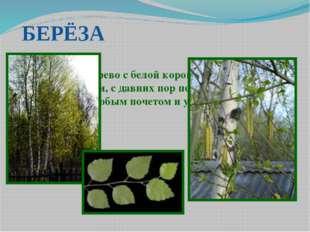 БЕРЁЗА Лиственное дерево с белой корой и сердцевидными листьями, с давних пор