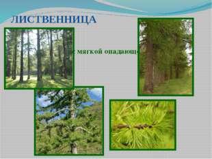ЛИСТВЕННИЦА Хвойное дерево с мягкой опадающей на зиму хвоей