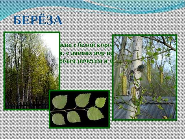 БЕРЁЗА Лиственное дерево с белой корой и сердцевидными листьями, с давних пор...
