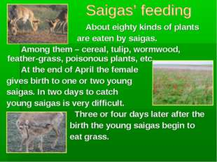 About eighty kinds of plants are eaten by saigas. Among them – cereal,
