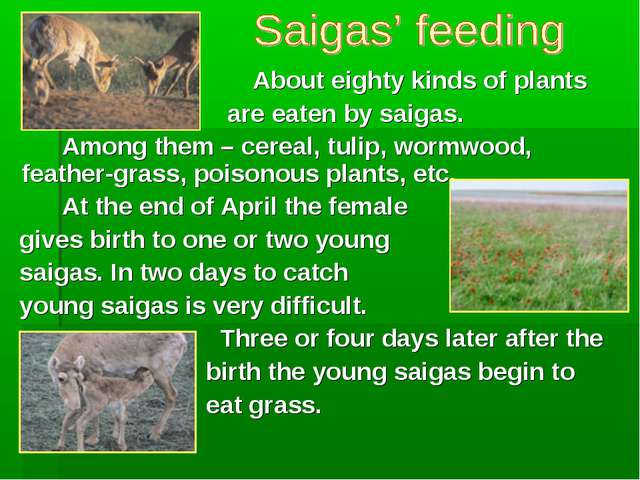 About eighty kinds of plants are eaten by saigas. Among them – cereal,...